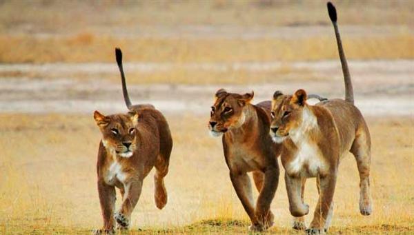 600600p3069EDNmain7843-lionesses-615-x-350