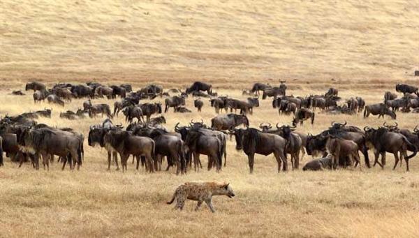 600600p3069EDNmain785wildebeest-hyena-615-x-350